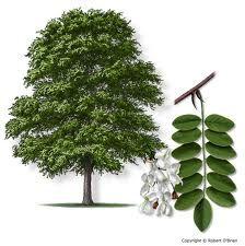 Black Locust Tree - fenceposts, forage, edible flowers, millable wood, honey…