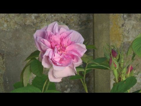 Un rosier grimpant pour l'ombre - YouTube