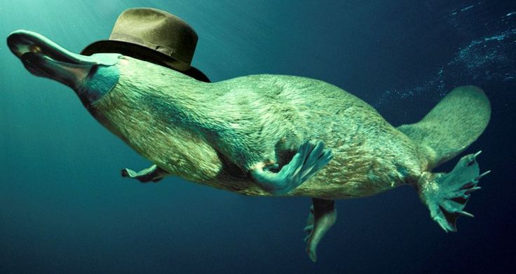 A Platypus, with a hat