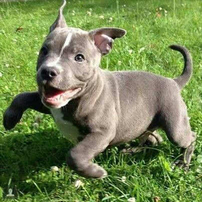Really happy and playful blue-nose puppy