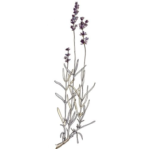 Line Drawing Lavender : Best tattoo images on pinterest botanical drawings