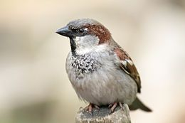 House Sparrow (Gråspurv) (Passer domesticus)