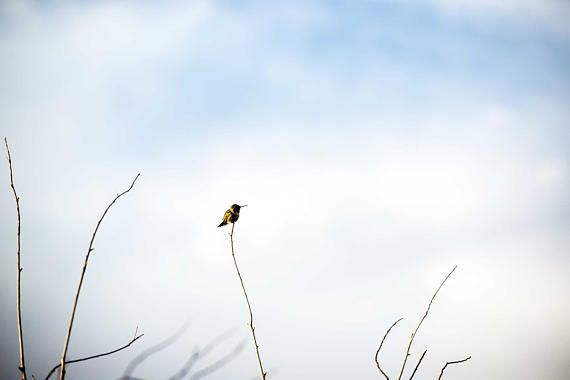 "Nature Photography ""Bird on a Limb"" Broad-Tailed Hummingbird Creede Colorado Soward Ranch Clouds Yellow Bird Stick Sky Digital Landscape Art erinhaneydesigns www.etsy.com/shop/erinhaneydesigns"