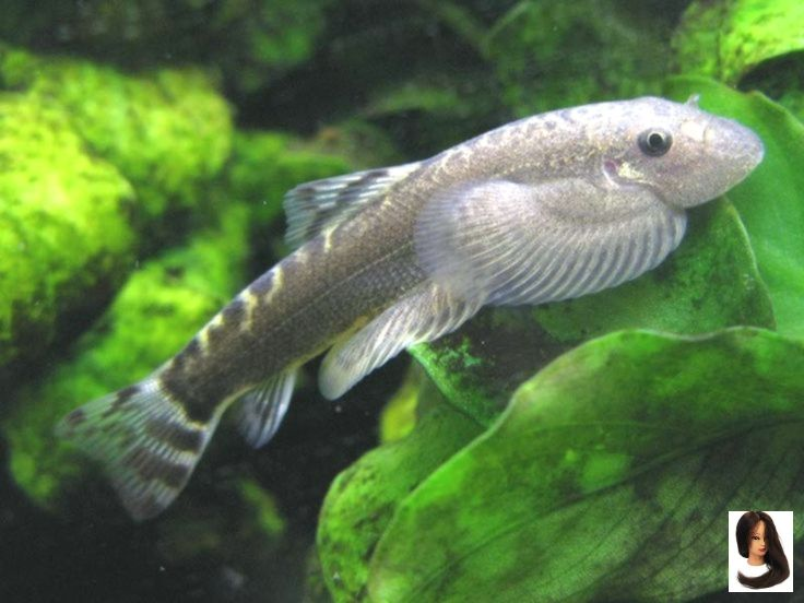 Care General Puliensis Recomm Sinogastromyzon Temperature Sinogastromyzon Puliensis Temperature For General Tropical Fish Tanks Cool Fish Tropical Fish