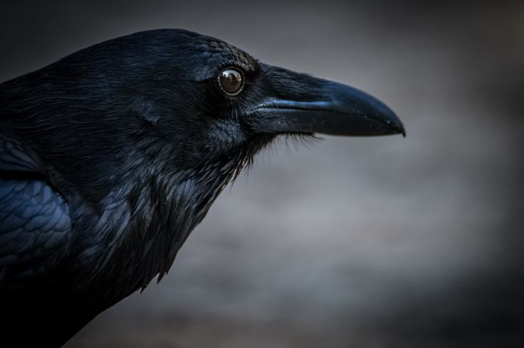 Raven portrait - Raven photographed at Yosemite National Park