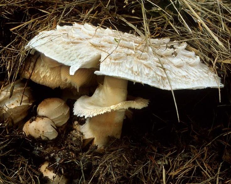 Edible Mushrooms In California