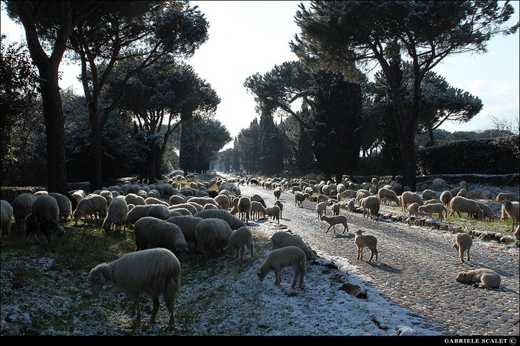 Flock of sheep along Appia Antica