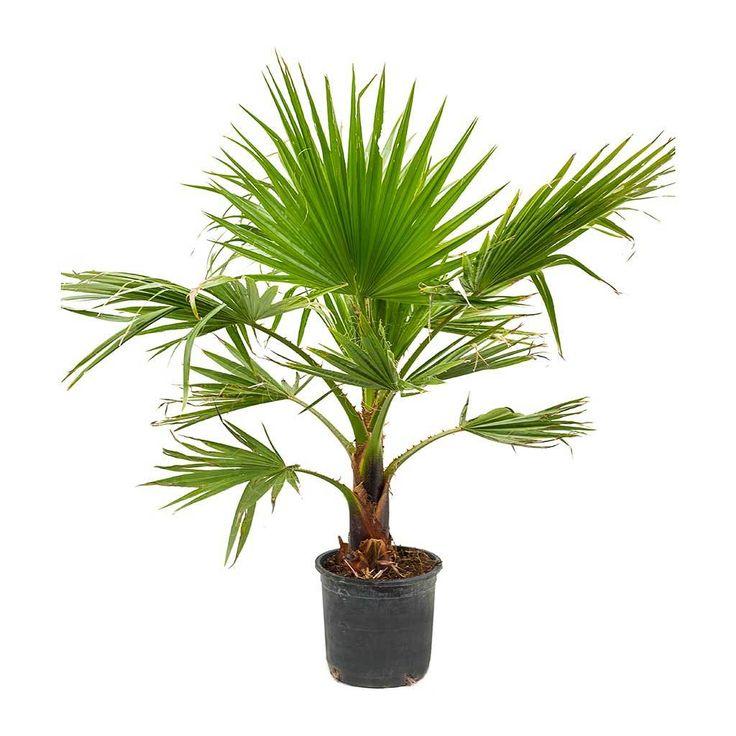 Washingtonia robusta Mexican Fan Palm 30 x 140cm
