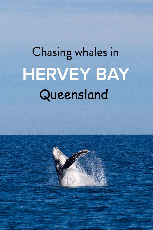 Visiting Australia and want to go whale watching? Hervey Bay in Queensland is one of the best places for spotting humpbacks!