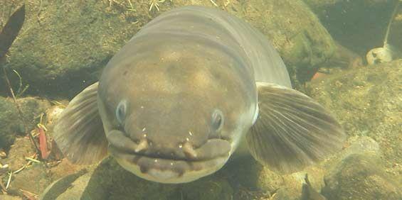NZ Longfin eel. Photo: Alton Perrie.