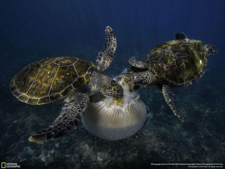 Jellyfish Feast // Photo and caption by Scott Portelli