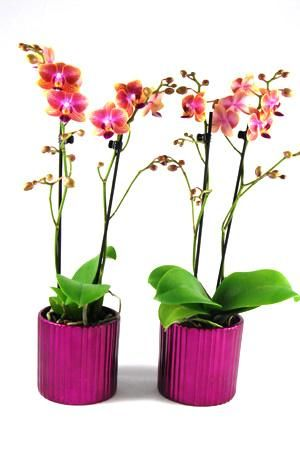Orchidee Phalaenopsis Qatar in Metallic keramiek donkerroze.