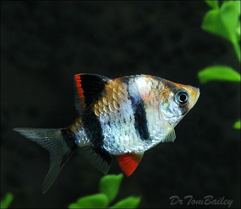 Sick Fish - Signs of Stress and Disease in Tropical Fish and Goldfish.