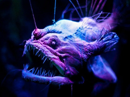 eerie anglerfish to attract prey the scarylooking fish