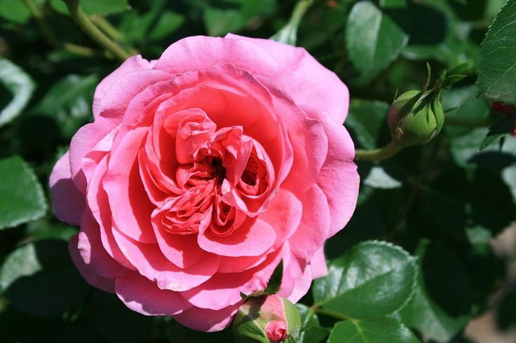 Rosas inglesas, una combinación perfecta | Cuidar de tus plantas es facilisimo.com