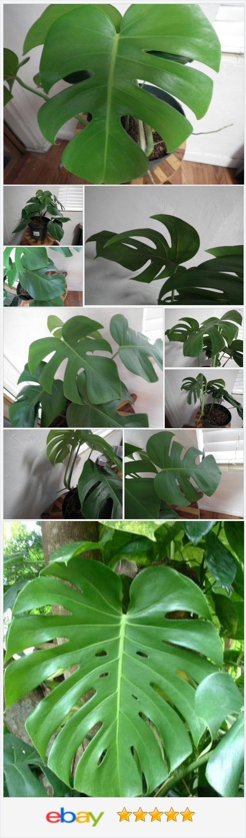 Large Aroid Philodendron Monstera Tropical live plant Vine Awesome! @urgoodbuyz