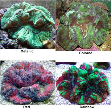 59 best solana reef tank images on pinterest reef aquarium fish wellso folded brain coral lps fandeluxe Choice Image