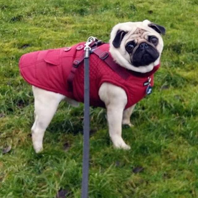 Puppia Fleece Lined Wilkes Coat Available At Www Ilovepugs Co Uk Padded Waterproof A Built In Harness Also In Navy Post Worl Pugs Cute Pugs Pugs For Adoption