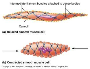 the 25+ best ideas about smooth muscle tissue on pinterest, Muscles