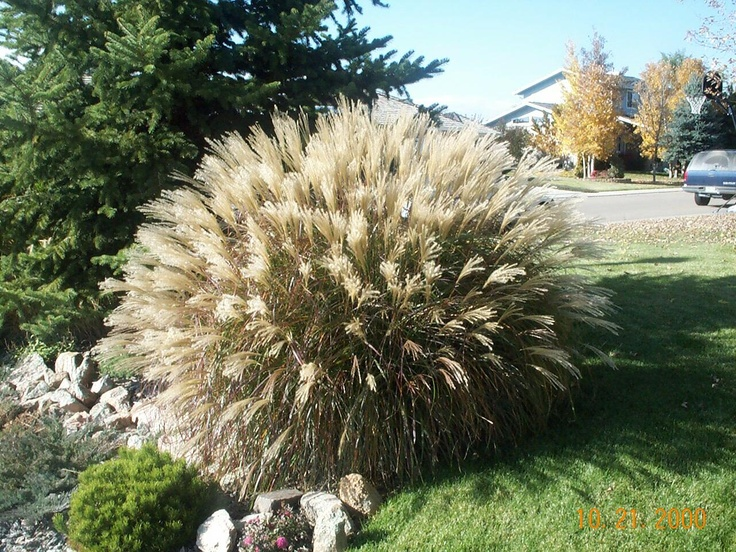 32 best ornamental grass images on pinterest ornamental for Tall grass landscape ideas