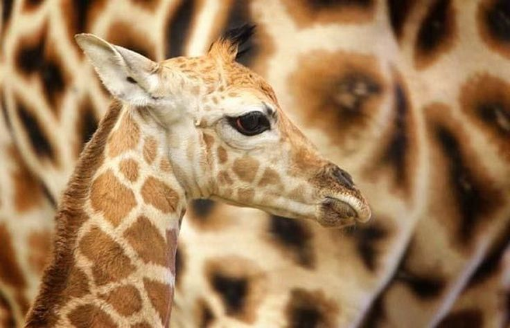 Pheonix was born after a fifteen month gestation period to Yoda and Mum Janica at Paignton Zoo in Devon and is nearly six foot tall. Pheonix is the first Giraffe born at the Zoo since the tragic blaze in 2006