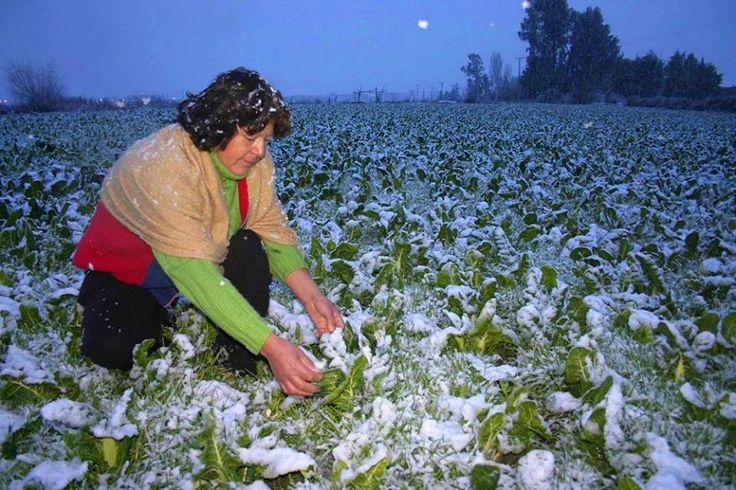 #SabíasQue… Las heladas afectan a las plantas y a los cultivos porque provocan el congelamiento del agua al interior de los tejidos vegetales dañando a las células e impidiendo su regeneración. Asimismo durante el invierno se produce una... Lee más dando click en la imágen