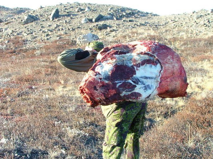 """Musk Ox hunt in Greenland. """"En lille forhåndsadvarsel: nogle billeder kan være lidt voldsomme for sarte sjæle. Dette er vist fra 2 forskellige jagtture. Jagtsæsonen er godt igang og mange er i fuld gang med at fylde frysere op. Her er lidt fra en tur jeg har været med på og ellers er det fra min kærestes ture.                       Motoriseret jagt er ulovligt heroppe."""""""