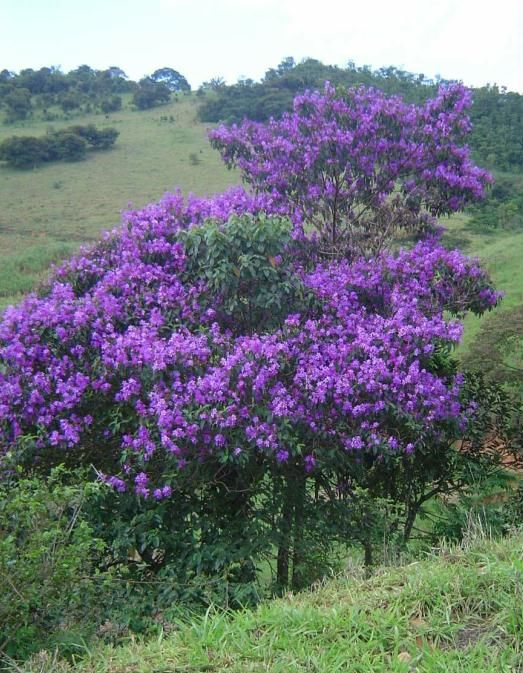 Quaresmeira Tibouchina granulosa                                                                                                                                                                                 Mais