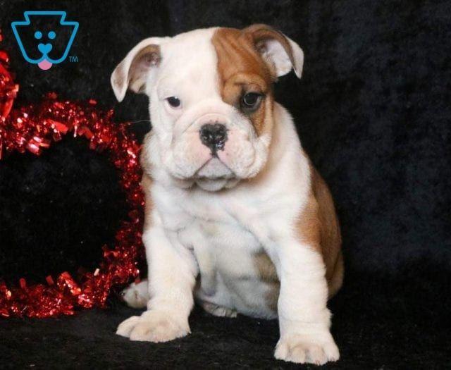 Sam Bulldog Puppies English Bulldog Puppies Bulldog Puppies