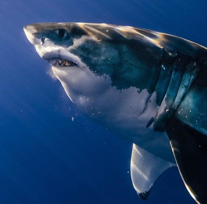 Photo By Euanart Greatwhite Whiteshark Shark Requin Blanc Ocean Predator Grand Requin Blanc Requin Blanc Requin