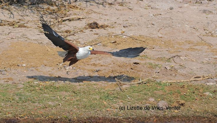 African fish eagle taking off from the ground