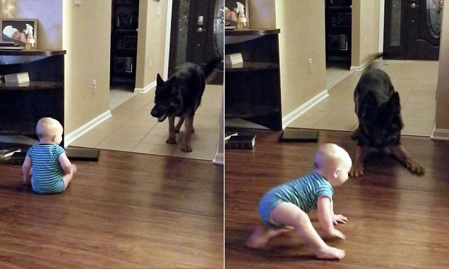 Adorable moment baby chases a German Shepherd around their living room