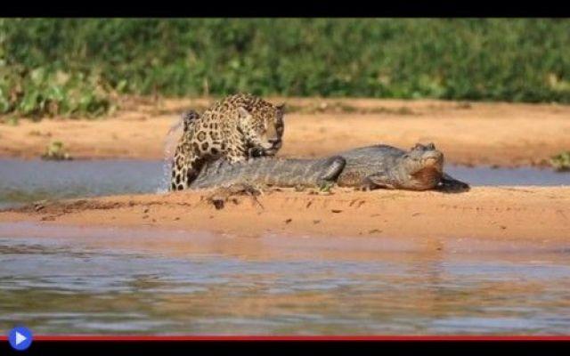 La riscossa delle belve sugli alligatori Non stavolta, amico del giaguaro! C'è sempre in ogni gruppo, un disfattista discordante. Per ciascuna classe di scuola soggetta alle verifiche di fine anno, in tutti gli uffici delle compagnie sogget #animali #alligatori #scienza #strano