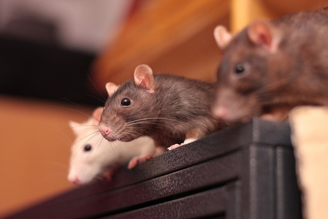 rats <3 to know what's going on (image is 'IMG_9955 curious invasion' by Nobinx on Flickr, via dirtyratlover.tumblr.com)