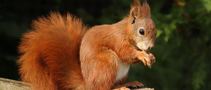 Red Squirrels Trust Wales