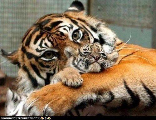 Tigers: Big Cat, Mothers Day, Panthera Tigri, Baby Animal, Tigers Mom, Tigers Cubs, Baby Tigers, Adorable Animal, Bigcat