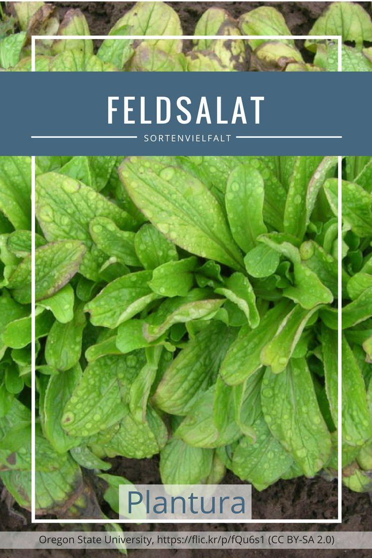 Feldsalat zählt zu den beliebtesten Salatsorten in Deutschland. Doch auch hier gibt es eine unglaubliche Sortenvielfalt: Die zahlreichen Feldsalatsorten unterscheiden sich hauptsächlich in Blütezeit, Form, und Erntezeit. Mehr erfahrt Ihr auf Plantura!