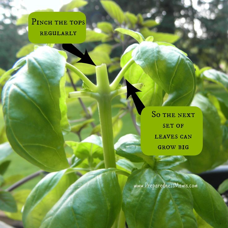 Growing basil in containers is easy. The biggest trick to growing a bumper crop of basil is pruning it — always pinch it back to the next place where there are new leaves emerging.