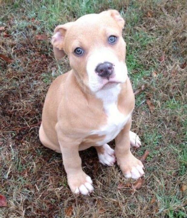 #pitbull #puppy #eyes