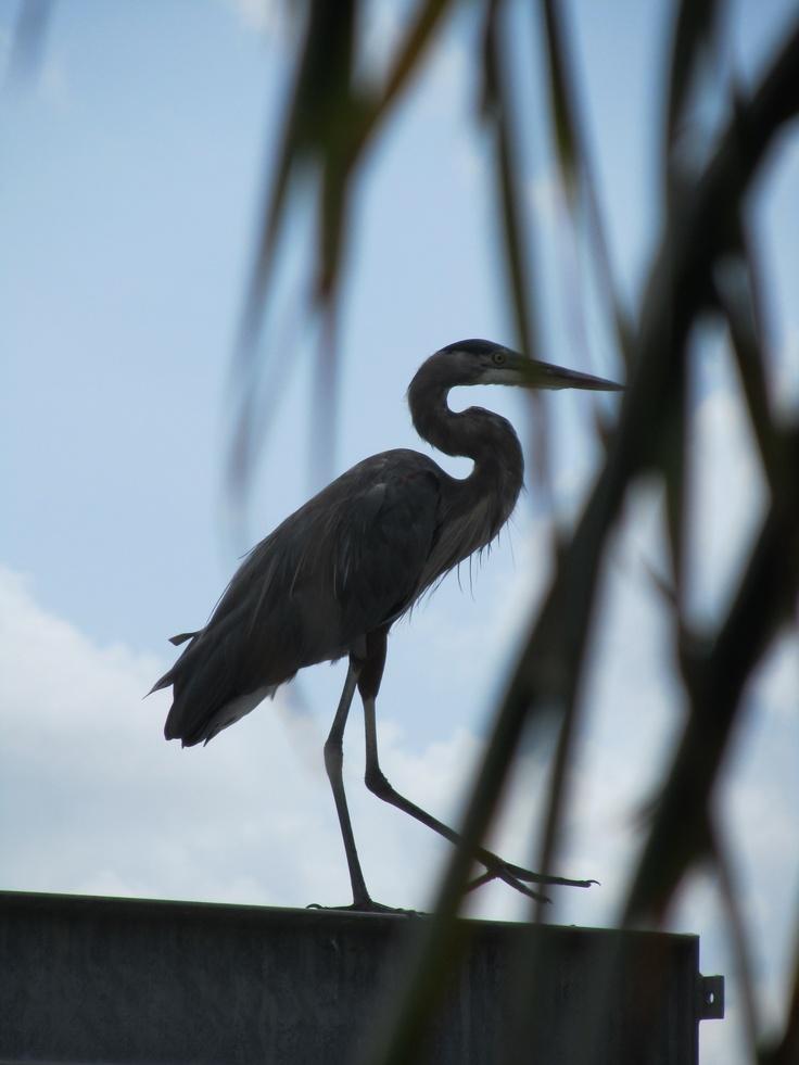 Heron Sillouette