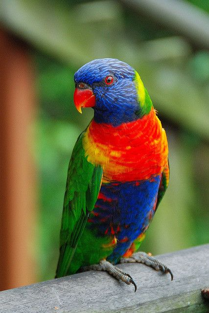 Rainbow lorikeet.  A ridiculously brilliantly coloured bird. Usually seen in small groups, but they are so beautiful.
