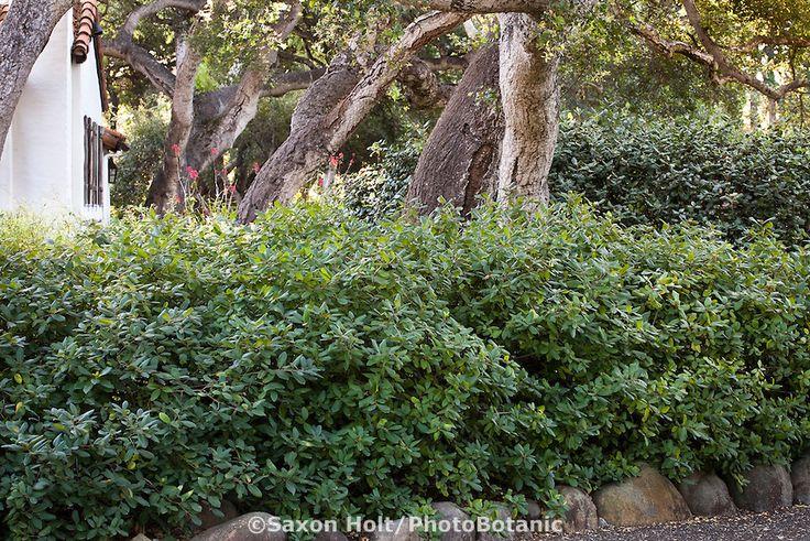 Hedge Of Native Shrub Coffeeberry Rhamnus Californica In California Native Plant Garden Under
