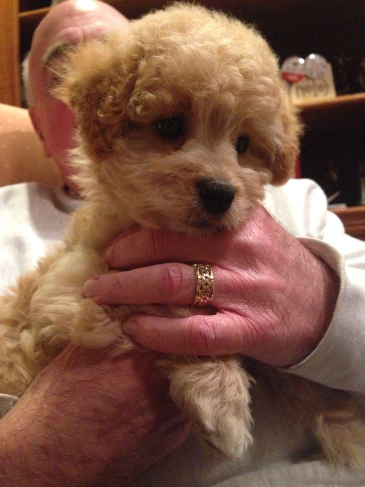 Baby mini goldendoodle | Riley | Pinterest | Babies, Mini ...