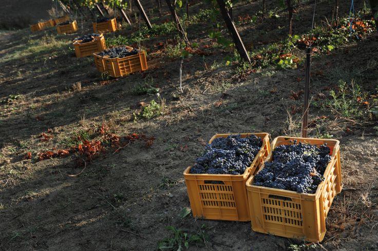 Pinot Nero harvest at Vistarino in Italy