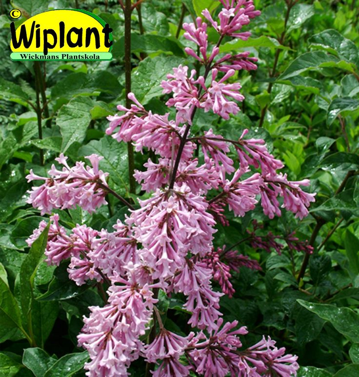 Syringa 'Måttsund', ungersk syren. Finns både som buske och stamsyren. Mörkvioletta långa blommor. Höjd: 2-3m.