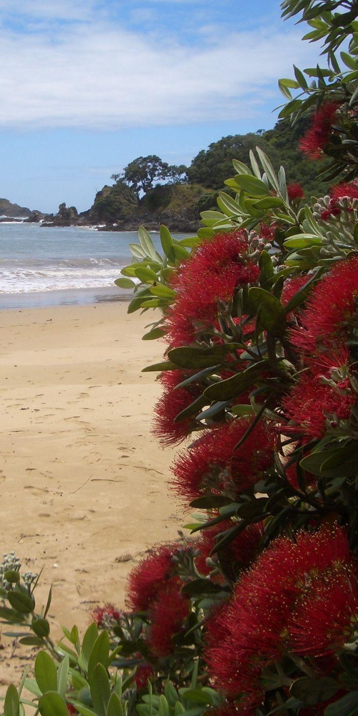 El Pohutakawa, un árbol de Navidad en Nueva Zelanda. También es un árbol nativo. Sólo está en flor durante los meses de verano en Nueva Zelanda. Normalmente se encuentran a lo largo de la costa.