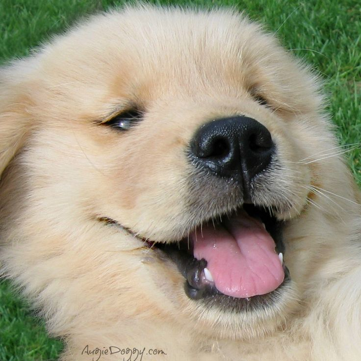 80 best images about golden retriever puppies on. Black Bedroom Furniture Sets. Home Design Ideas