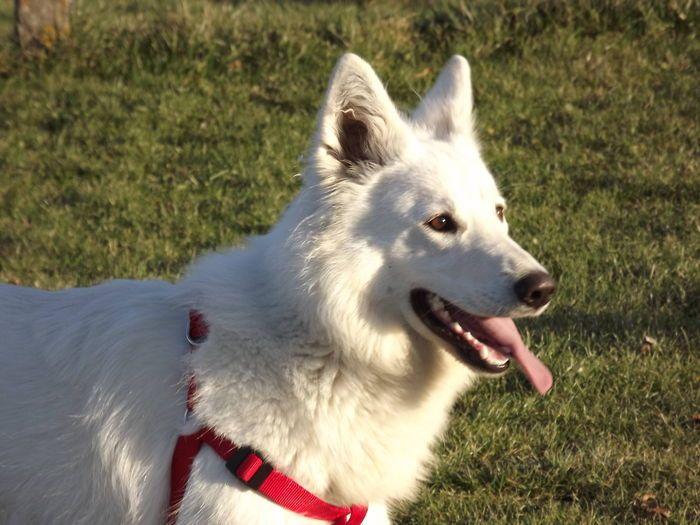 Chien - White Swiss Shepherd - Helsy on www.yummypets.com Dog, cute, animals, pets, pooch, pup, Yummypets