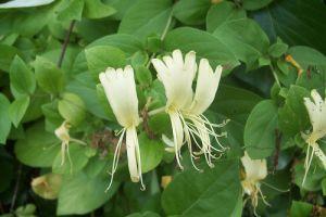 Caprifoiul catarator este o planta care trebuie cultivata aproape de ferestre datorita mirosului puternic pe care il emana.