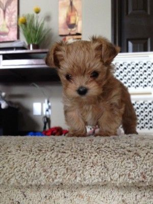 I want one when I go off to college!! Morkie puppy